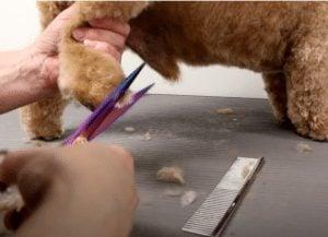 grooming cockapoo feet