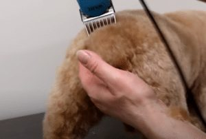 grooming cockapoo tail