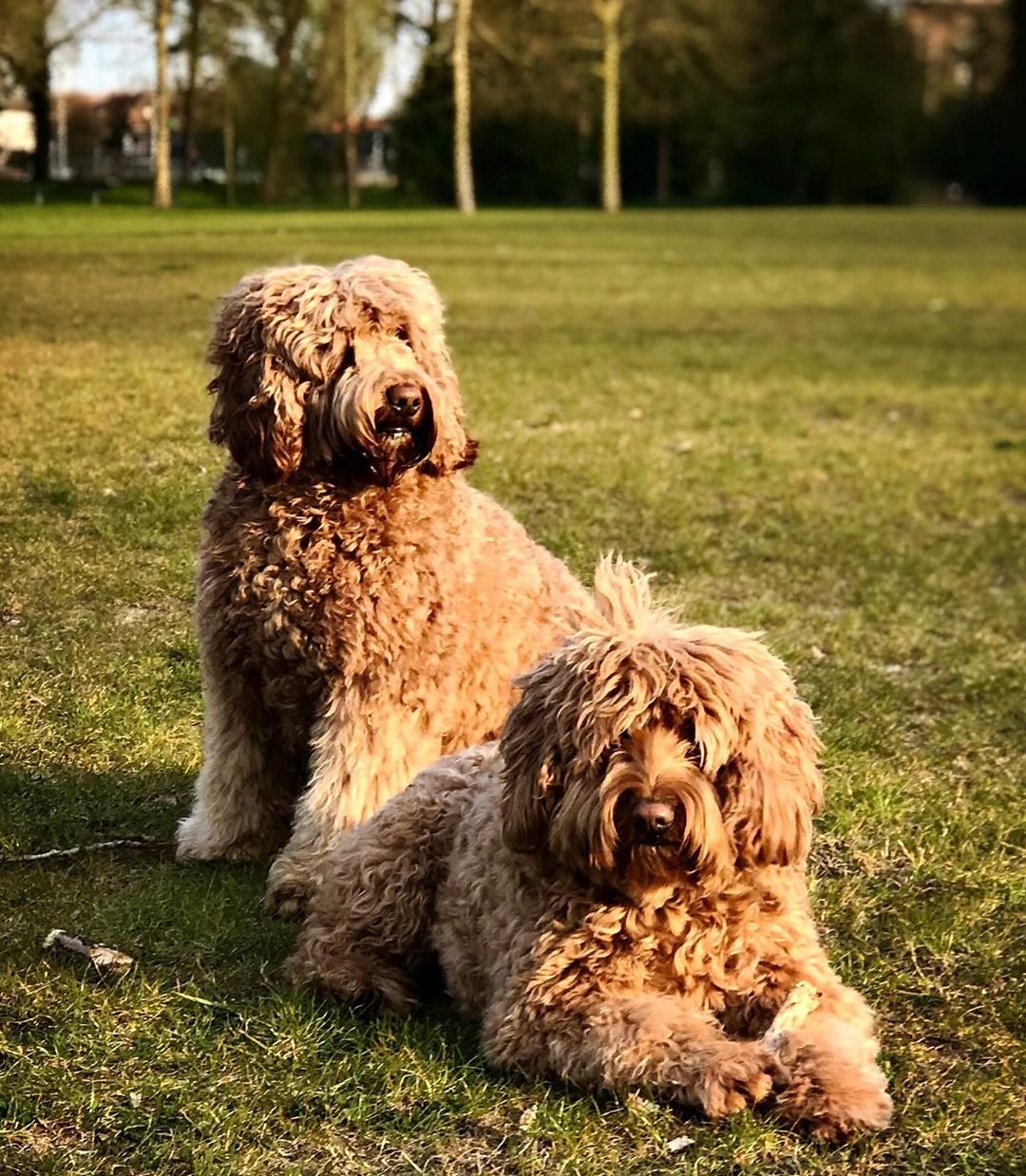 labradoodle generations picture