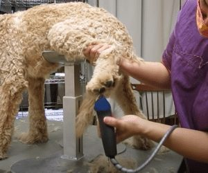 labradoodle paw grooming