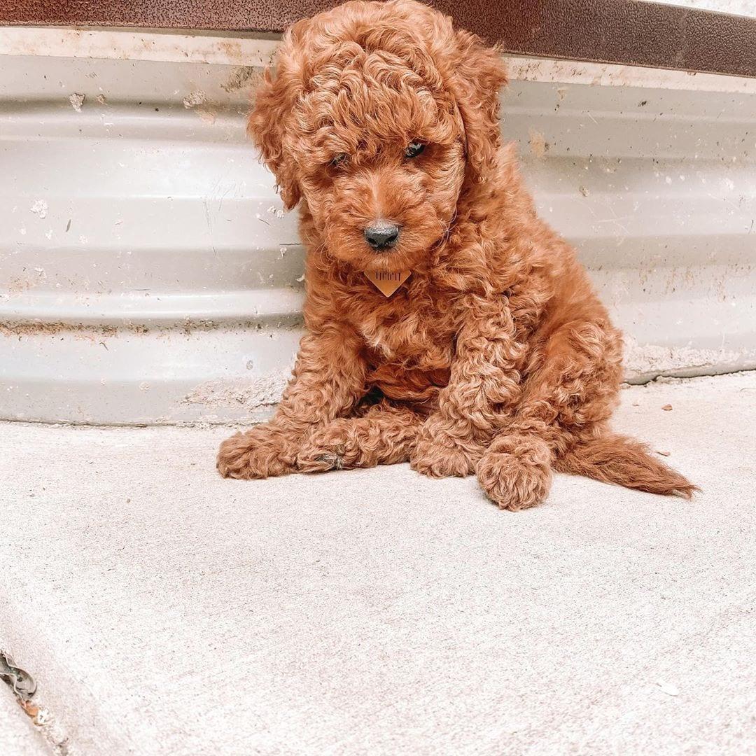 labradoodle puppy shedding
