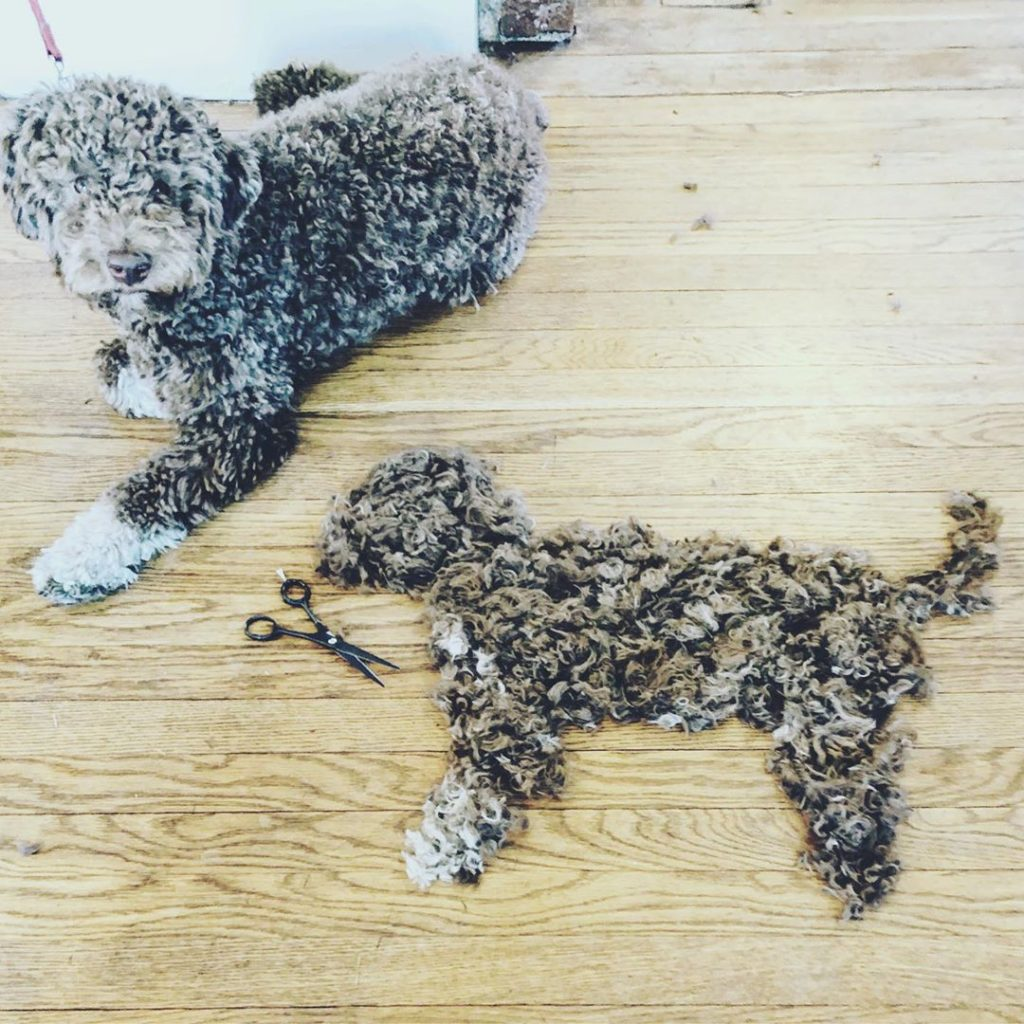 Labradoodle sheds alot of hair