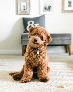 mini goldendoodle puppy size