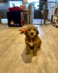 red australian labradoodle picture