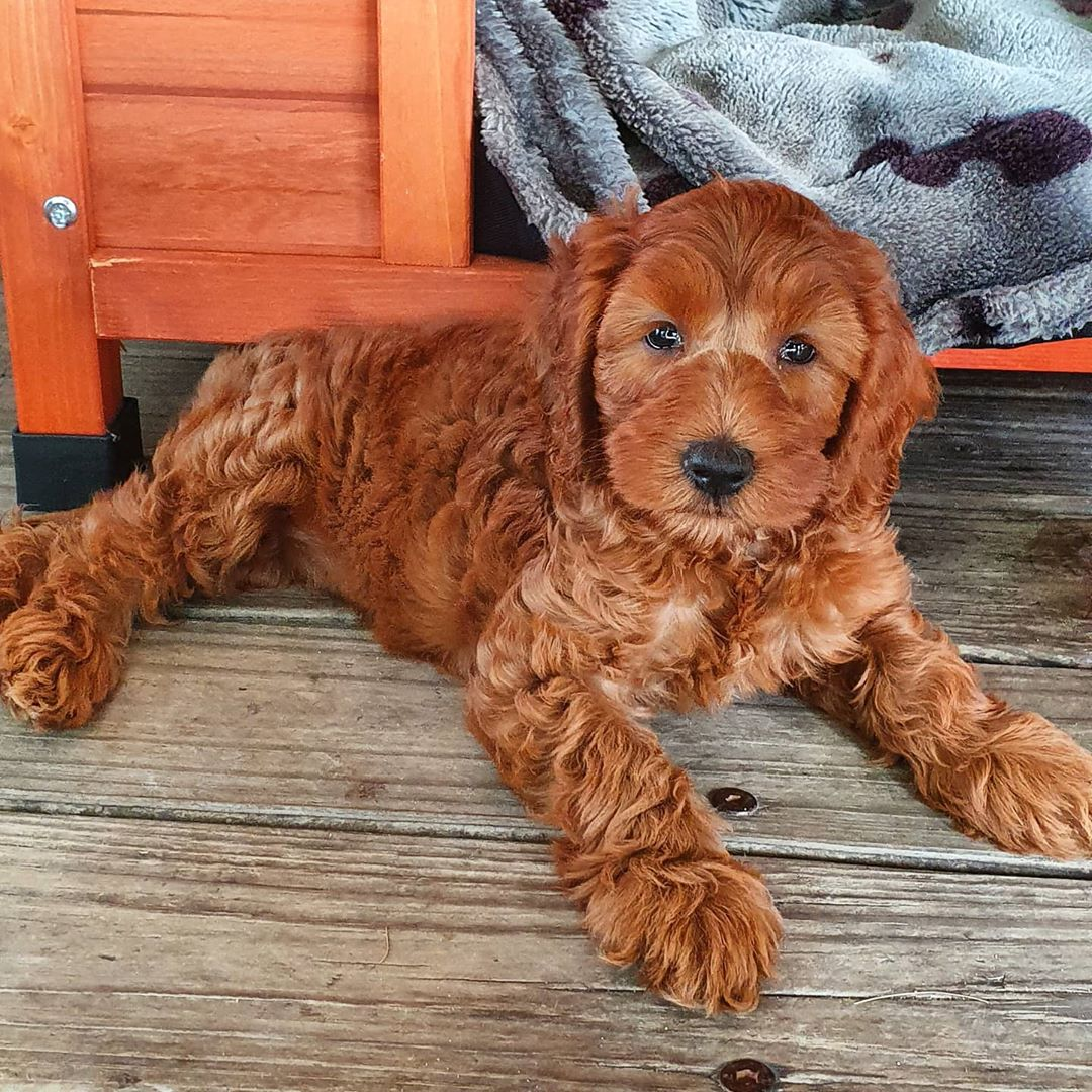 red labradoodle color