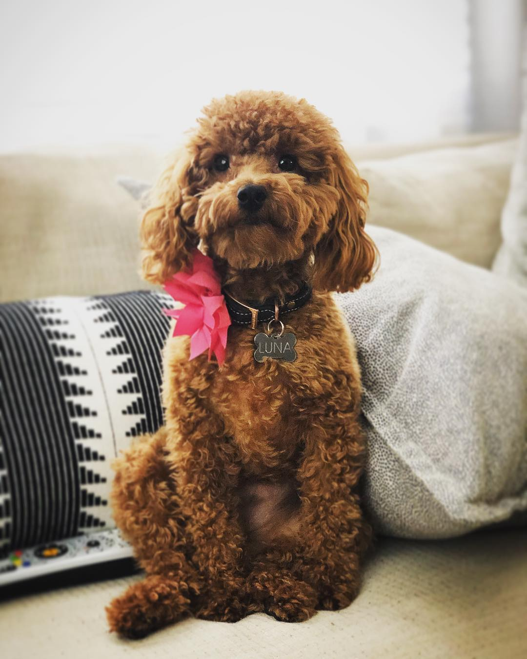red maltipoo picture