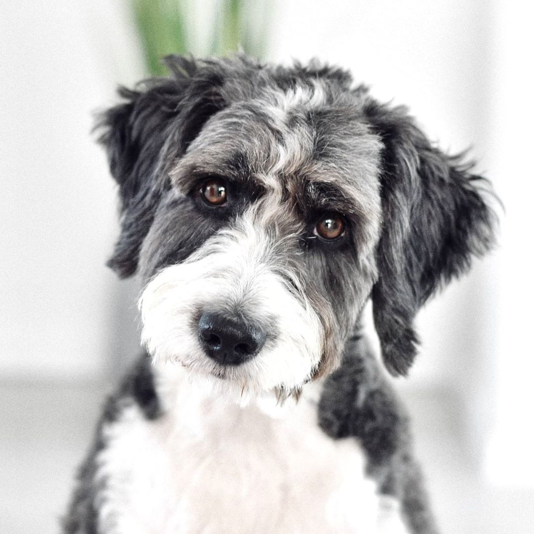 standard aussiedoodle picture
