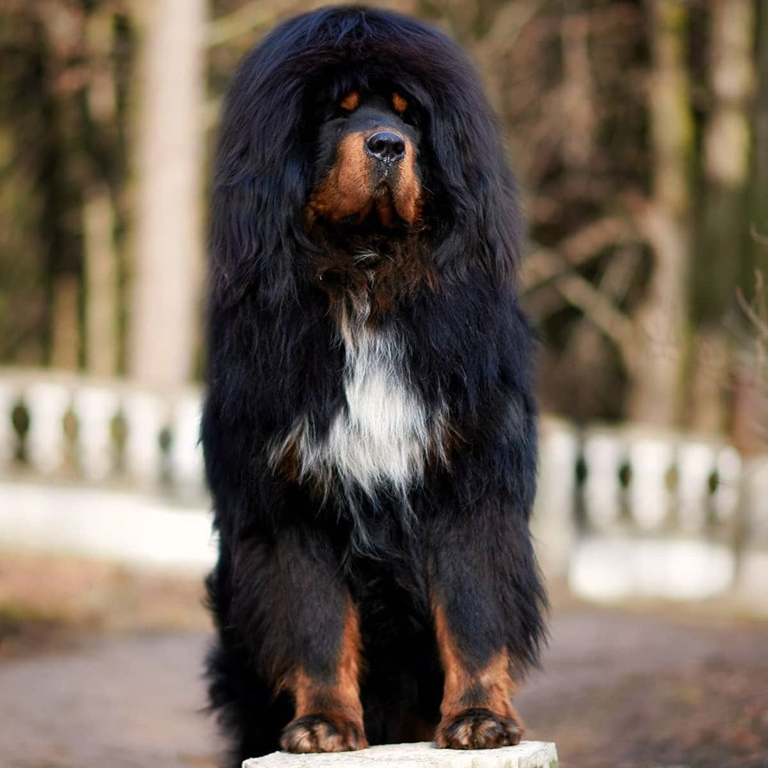 tibetan-mastiff-poodle-mix-picture