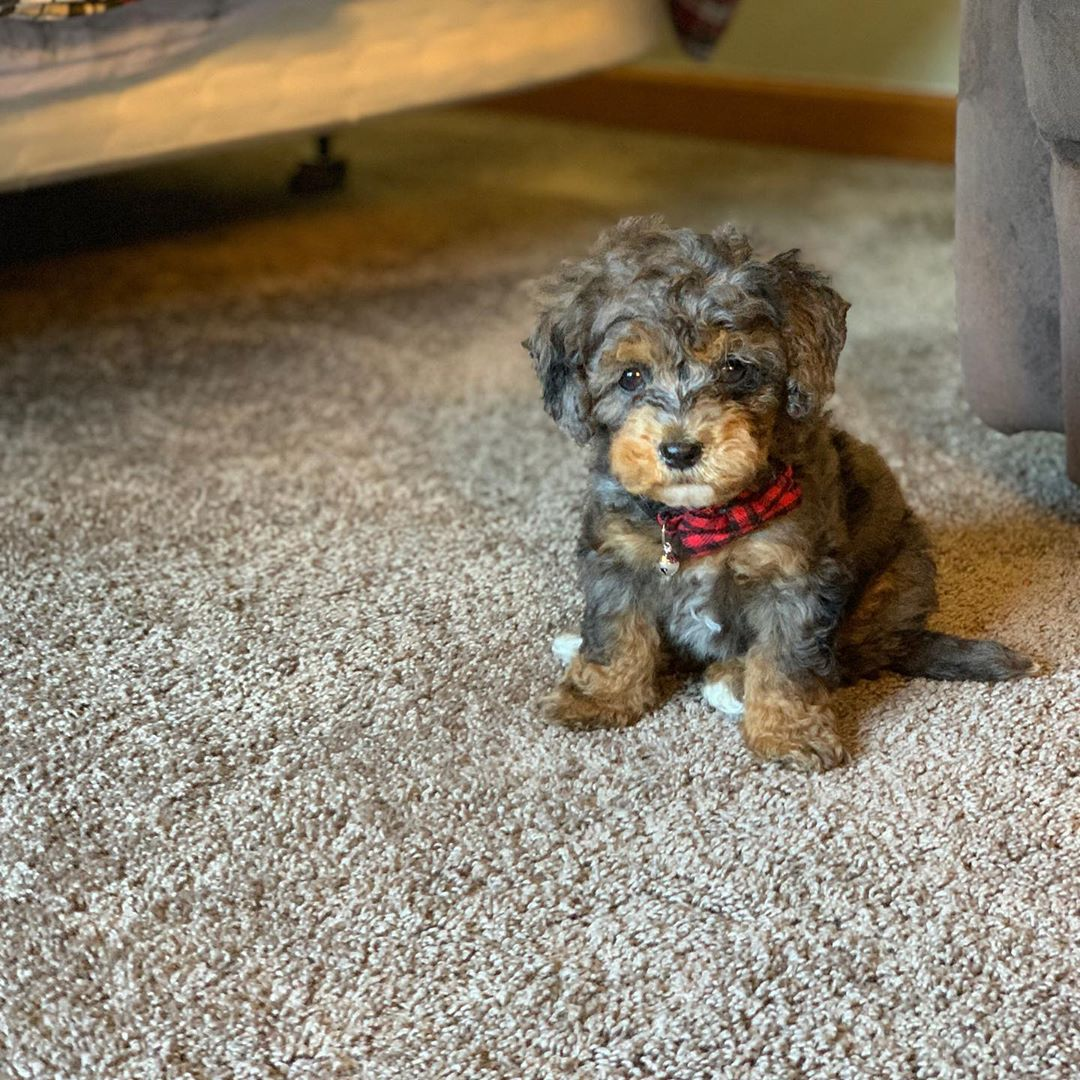 toy aussiedoodle picture