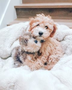 toy goldendoodle size