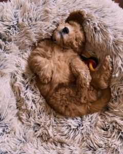 toy labradoodle size