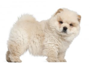 What is a chow doodle