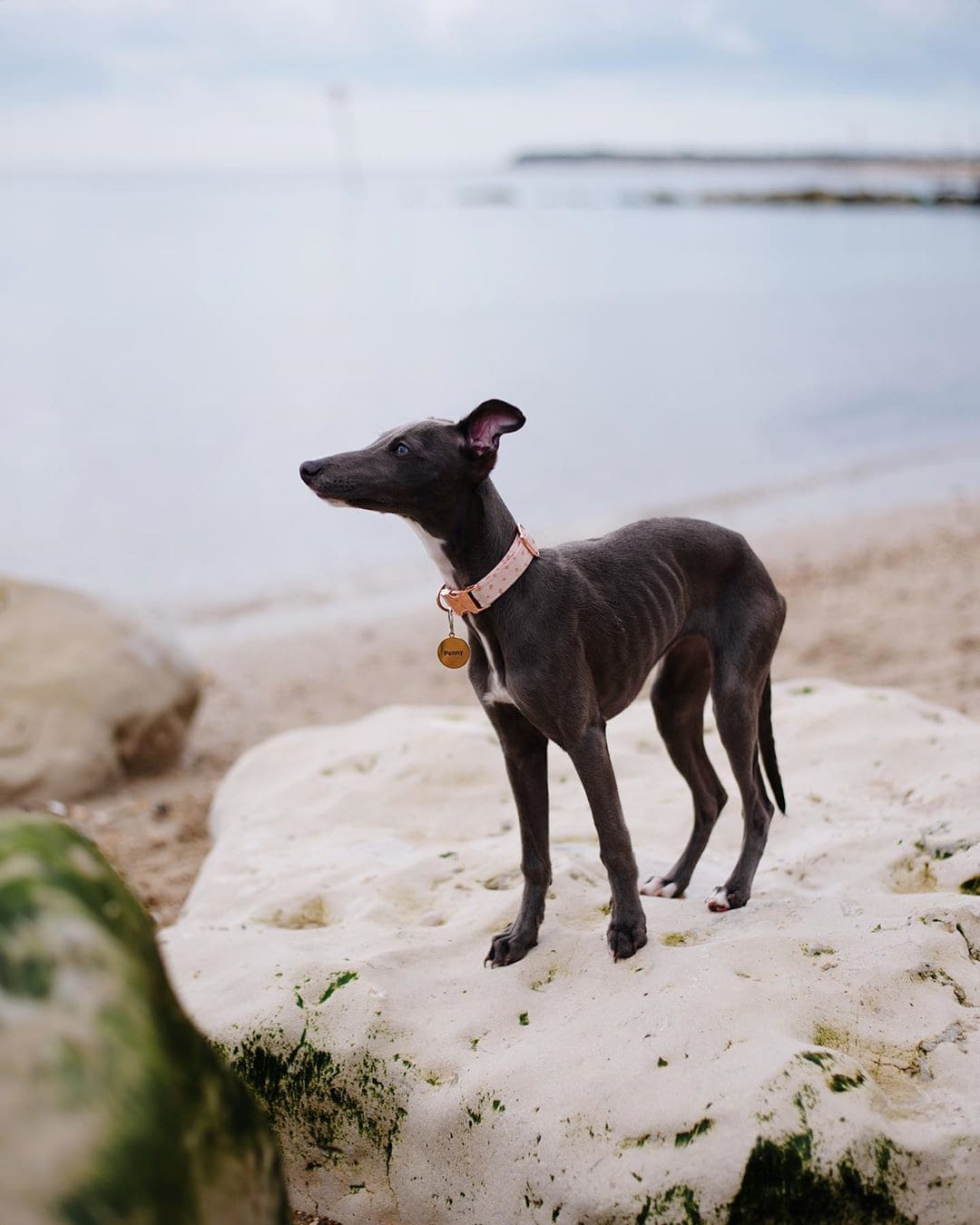 whippet dog picture