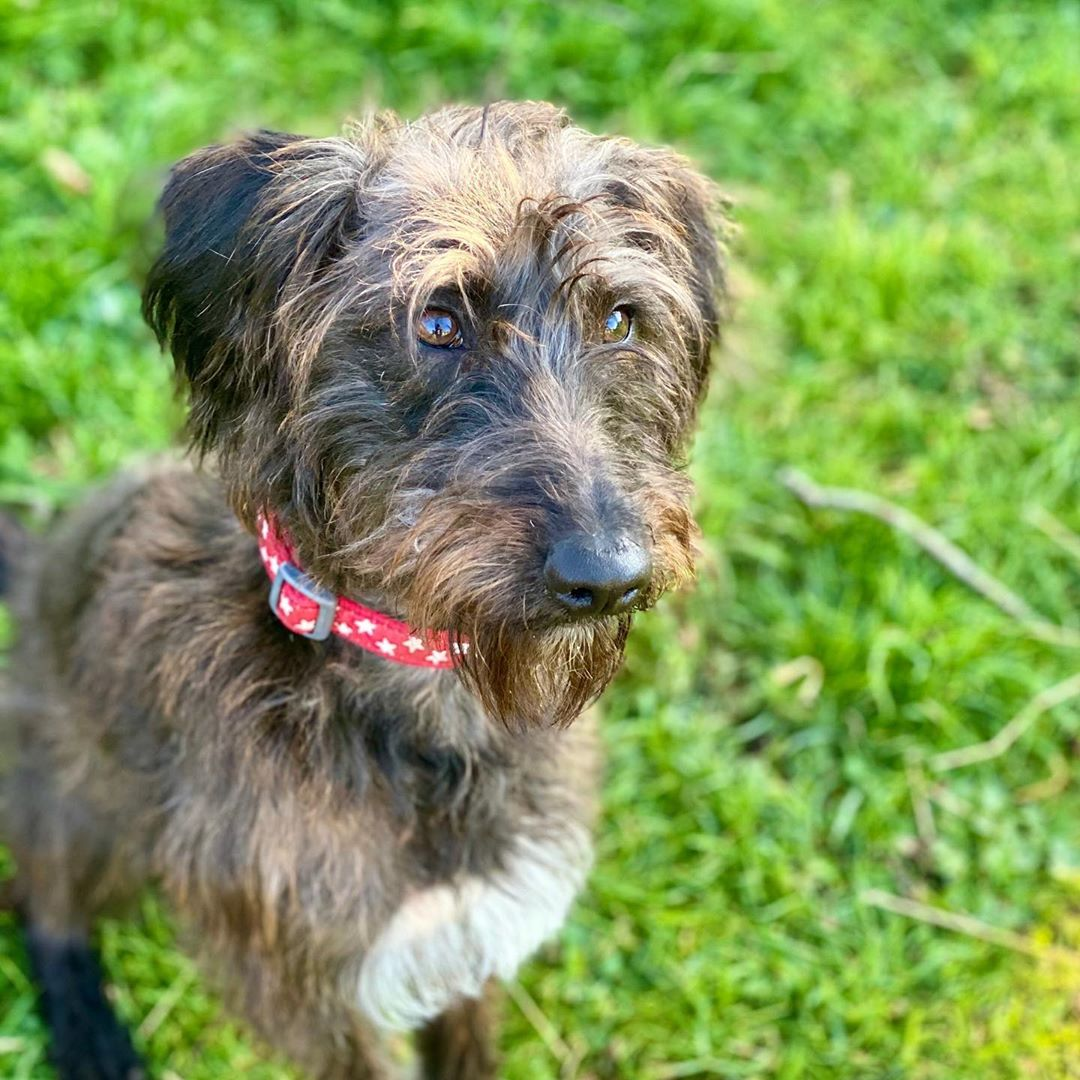 whippet poodle mix