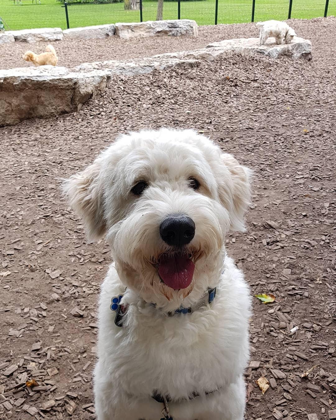 white sammypoo dog