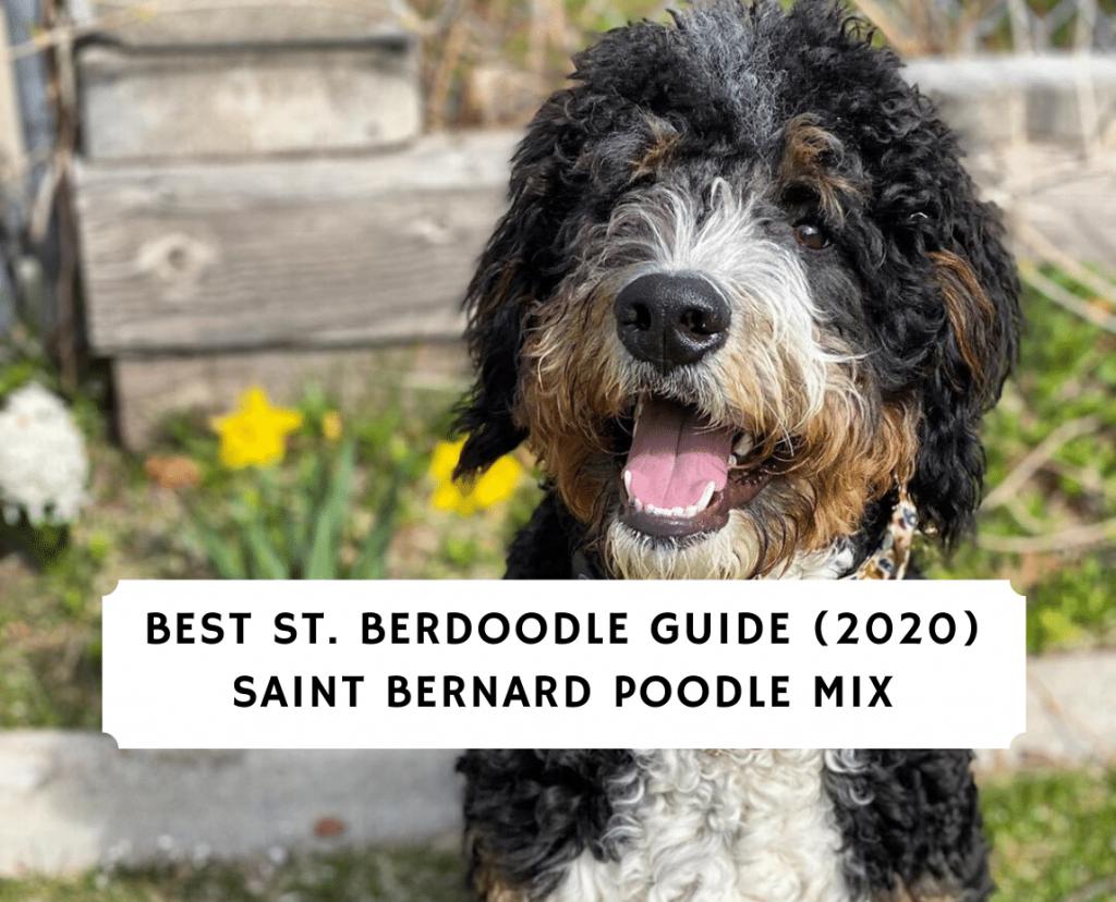 Best St. Berdoodle Guide 2020 Saint Bernard Poodle Mix