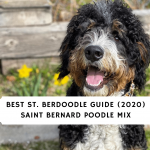 Best-St.-Berdoodle-Guide-2020-Saint-Bernard-Poodle-Mix