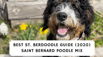 Best-St.-Berdoodle-Guide-2020-Saint-Bernard-Poodle-Mix