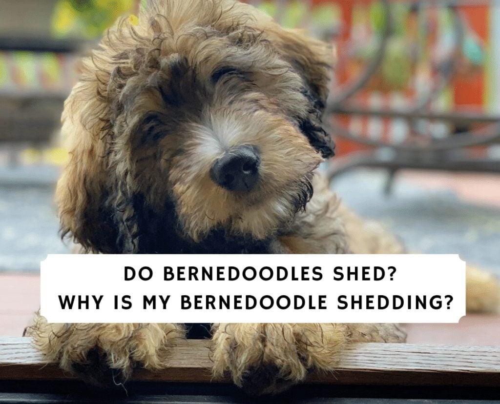 Do Bernedoodles Shed_ Why is my Bernedoodle shedding_