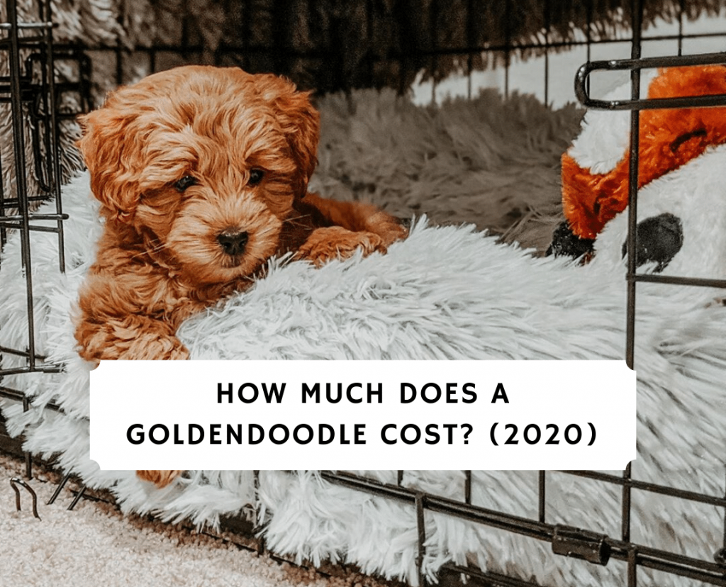 How much does a Goldendoodle cost 2020