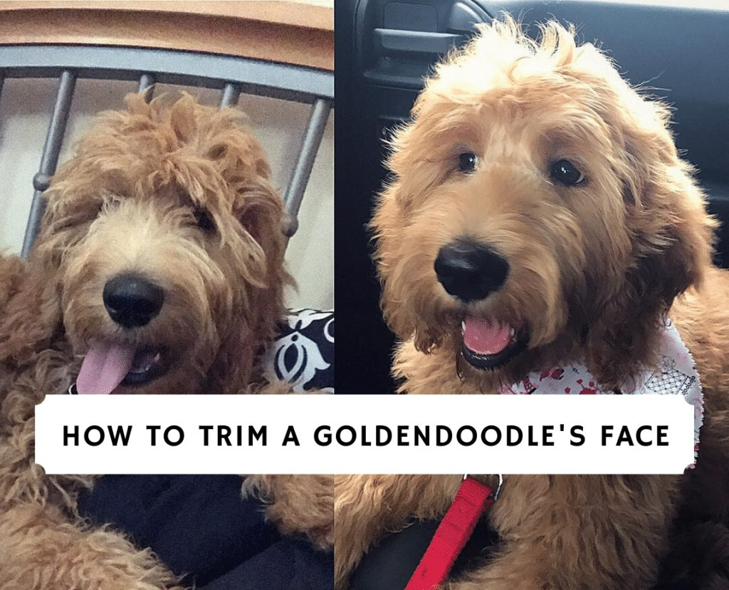How To Trim A Goldendoodle S Face 2021 We Love Doodles