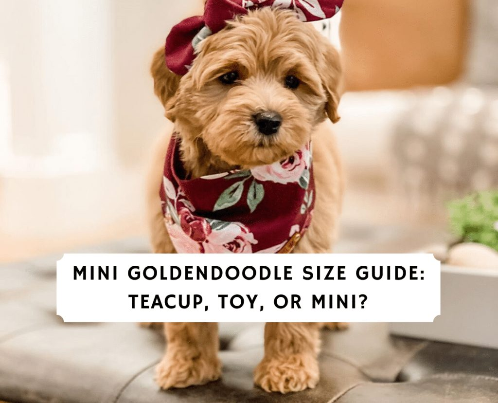 Mini Goldendoodle Size Guide_ Teacup, Toy, or Mini_
