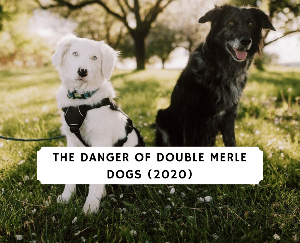 The Danger of Double Merle Dogs (2020)