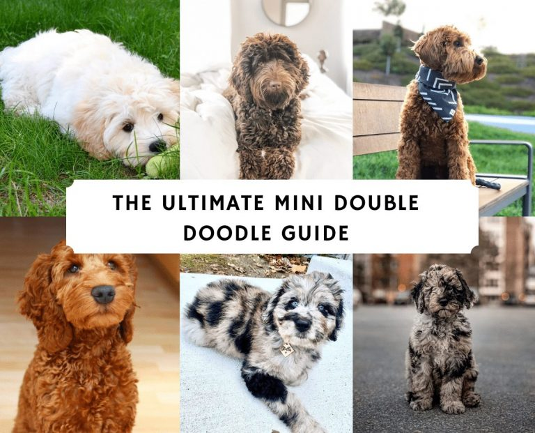 The Ultimate Mini Double Doodle Guide