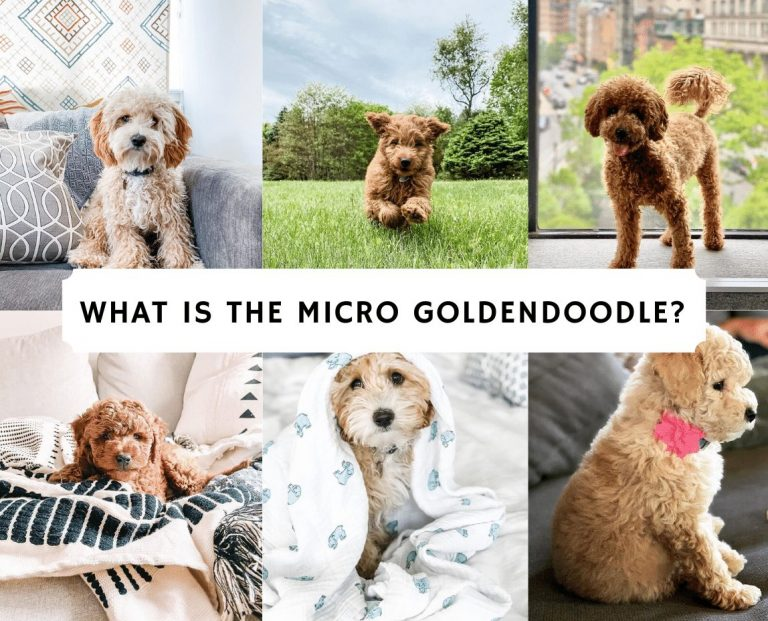 What is the Micro Goldendoodle_