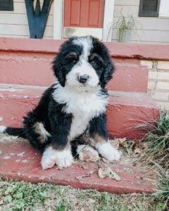 bernedoodle puppy coat shedding