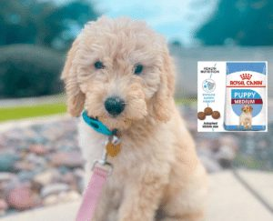best dog food for goldendoodle puppy