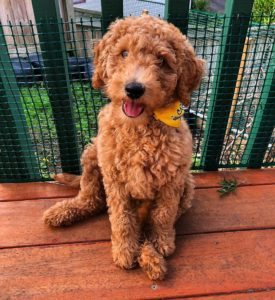buying a goldendoodle dog