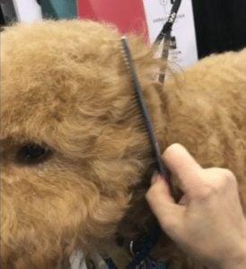 combing a goldendoodles face
