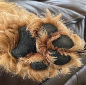 dog paw with no nails