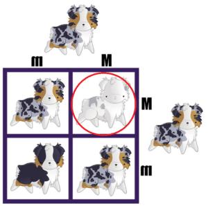 double merle dog probability