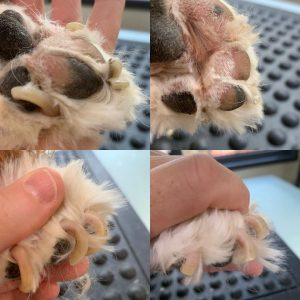 extremely overgrown dog nails picture