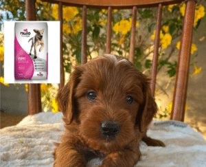 food for goldendoodle puppy