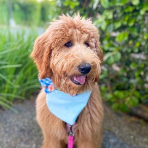goldendoodle cost to adopt