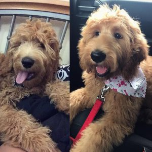 goldendoodle face trim before and after