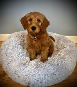 goldendoodle puppy picture