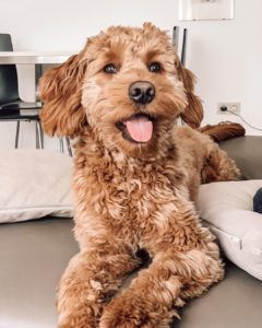 how much does a mini goldendoodle cost