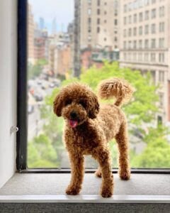 micro goldendoodle picture