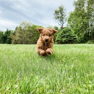 micro mini goldendoodle full grown