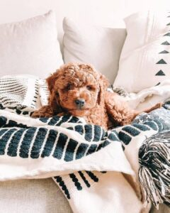 micro mini goldendoodle puppies