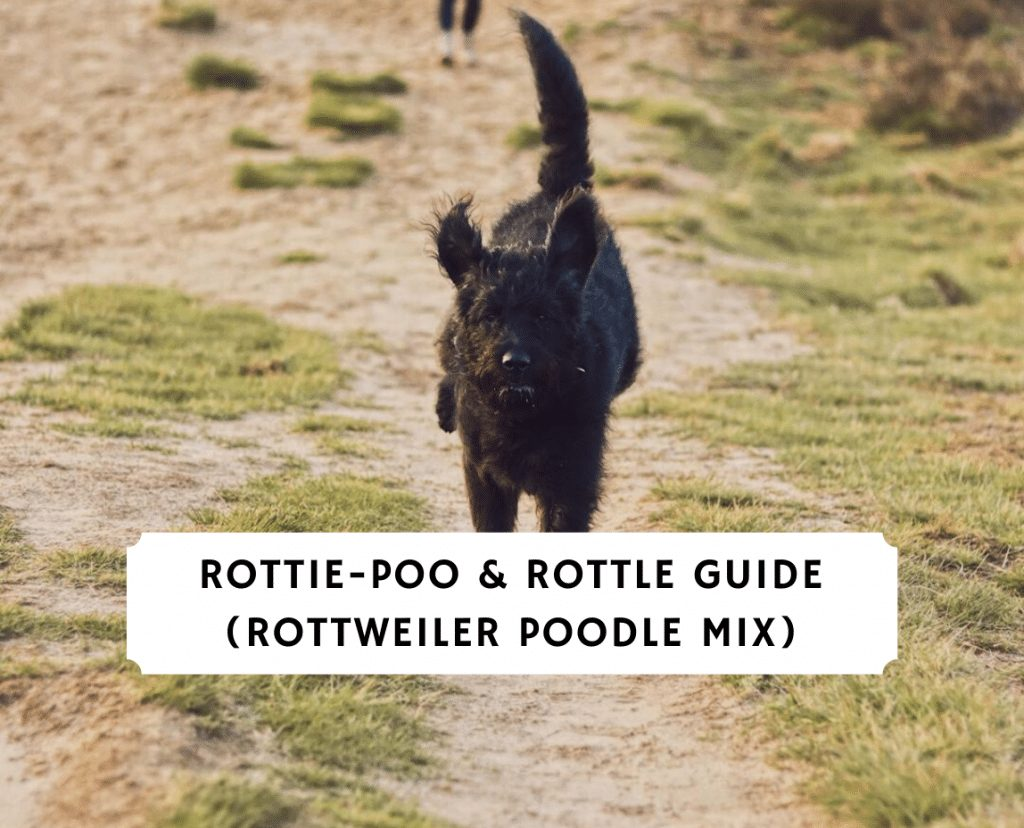 rottie-poo & Rottle Guide (Rottweiler Poodle mix)