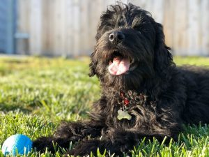 rottweiler poodle mix dog picture