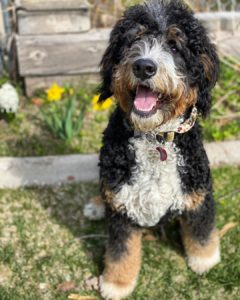 Saint Bernard Poodle Mix We Love Doodles