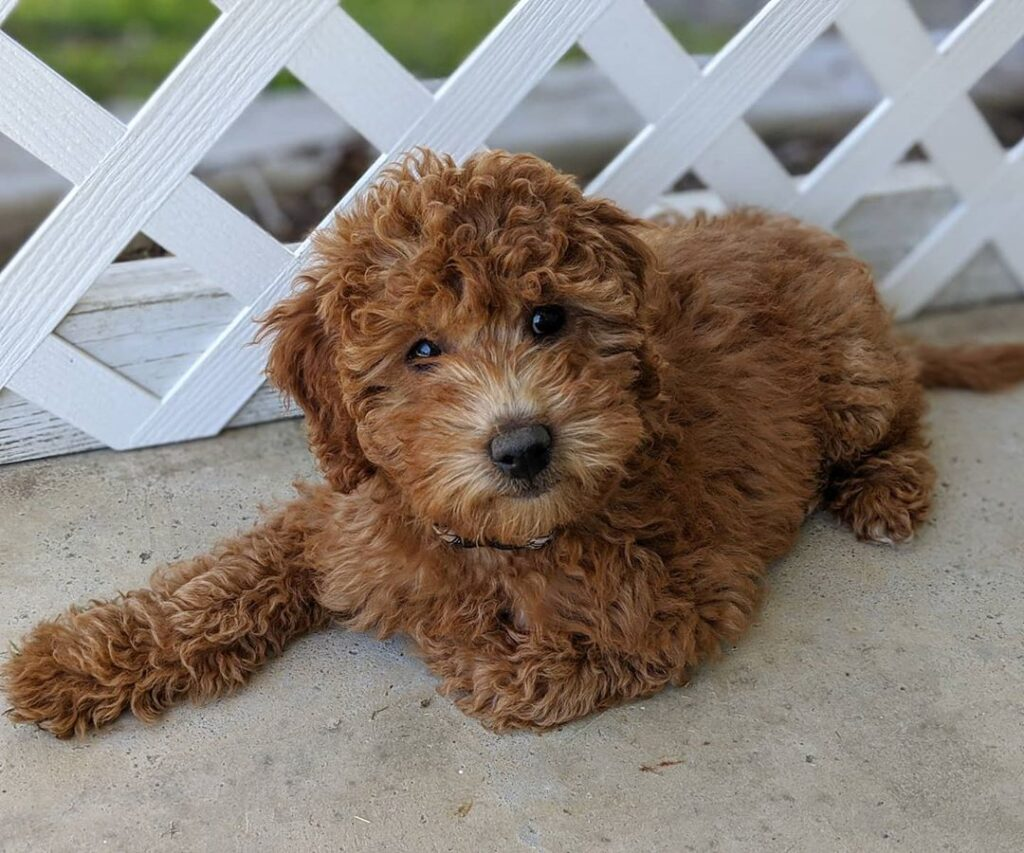 toy Goldendoodle size picture