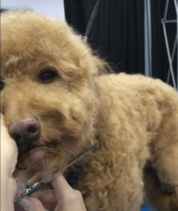 trimming a goldendoodle's chin