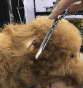 trimming a goldendoodle's ear